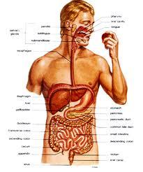 Planche anatomique intestin